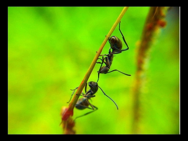 Black Ants Fighting By Pison Jaujip