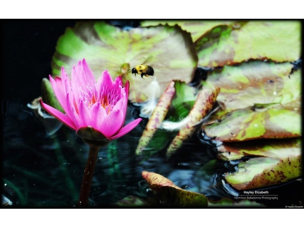 Bee and Waterlily