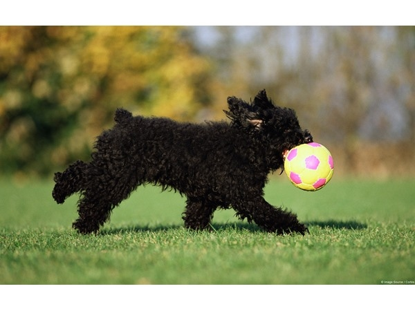 Playful Black Terrier